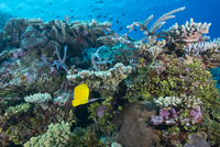 Colourful healthy hard and soft coral reef with long nosed butterflyfish (Forcipiger flavissimus), Matangi Island, Vanua Levu, F 20062022384| 写真素材・ストックフォト・画像・イラスト素材|アマナイメージズ