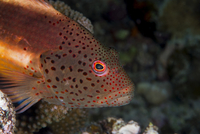 Freckled hawkfish (Paracirrhites forsteri) a reef fish that feeds on small fish and shrimps, Matangi Island, Vanua Levu, Fiji, P 20062022386| 写真素材・ストックフォト・画像・イラスト素材|アマナイメージズ