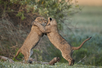 Two lion (Panthera leo) cubs playing, Ngorongoro Crater, Tanzania, East Africa, Africa 20062024129| 写真素材・ストックフォト・画像・イラスト素材|アマナイメージズ