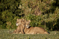 Two lionesses (Panthera leo) and a cub, Ngorongoro Crater, Tanzania, East Africa, Africa 20062024130| 写真素材・ストックフォト・画像・イラスト素材|アマナイメージズ