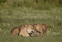 Lion (Panthera leo) cub rubbing against its mother, Ngorongoro Crater, Tanzania, East Africa, Africa 20062024132| 写真素材・ストックフォト・画像・イラスト素材|アマナイメージズ