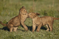 Two lion (Panthera leo) cubs playing, Ngorongoro Crater, Tanzania, East Africa, Africa 20062024133| 写真素材・ストックフォト・画像・イラスト素材|アマナイメージズ
