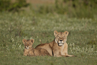 Lion (Panthera leo) cub and its mother, Ngorongoro Crater, Tanzania, East Africa, Africa 20062024134| 写真素材・ストックフォト・画像・イラスト素材|アマナイメージズ