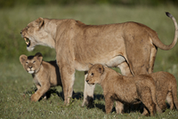 Lion (Panthera leo) cubs and their mother, Ngorongoro Crater, Tanzania, East Africa, Africa 20062024135| 写真素材・ストックフォト・画像・イラスト素材|アマナイメージズ