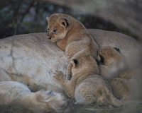 Lion (Panthera leo) cubs about four weeks old, Ngorongoro Conservation Area, Tanzania, East Africa, Africa 20062024249| 写真素材・ストックフォト・画像・イラスト素材|アマナイメージズ