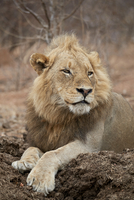 Lion (Panthera leo), Kruger National Park, South Africa, Africa 20062024251| 写真素材・ストックフォト・画像・イラスト素材|アマナイメージズ