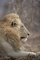 Lion (Panthera leo), Kruger National Park, South Africa, Africa 20062024252| 写真素材・ストックフォト・画像・イラスト素材|アマナイメージズ