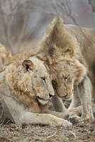 Two lions (Panthera leo) greeting each other, Kruger National Park, South Africa, Africa 20062024253| 写真素材・ストックフォト・画像・イラスト素材|アマナイメージズ
