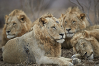 Four male lion (Panthera leo), Kruger National Park, South Africa, Africa 20062024255| 写真素材・ストックフォト・画像・イラスト素材|アマナイメージズ