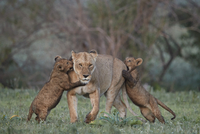 Lion (Panthera leo), two cubs playing with their mother, Ngorongoro Crater, Tanzania, East Africa, Africa 20062024263| 写真素材・ストックフォト・画像・イラスト素材|アマナイメージズ
