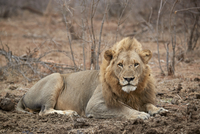 Lion (Panthera leo), Kruger National Park, South Africa, Africa 20062024276| 写真素材・ストックフォト・画像・イラスト素材|アマナイメージズ