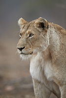Lioness (Panthera leo), Kruger National Park, South Africa, Africa 20062024279| 写真素材・ストックフォト・画像・イラスト素材|アマナイメージズ