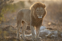 Lion (Panthera leo), Kruger National Park, South Africa, Africa 20062024285| 写真素材・ストックフォト・画像・イラスト素材|アマナイメージズ