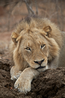 Lion (Panthera leo), Kruger National Park, South Africa, Africa 20062024293| 写真素材・ストックフォト・画像・イラスト素材|アマナイメージズ