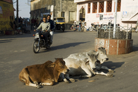 Holy cows on streets of Dungarpur, Rajasthan state, India, Asia 20062031453| 写真素材・ストックフォト・画像・イラスト素材|アマナイメージズ