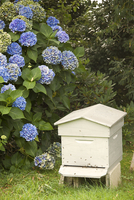 Bee hive and blue hydrangea, Botanical gardens of Chateau de Vauville, Cotentin, Normandy, France, Europe 20062036467| 写真素材・ストックフォト・画像・イラスト素材|アマナイメージズ
