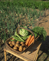 A basket of vegetables, potatoes, carrots, beans and cabbage, outdoors, produced in an allotment, onions growing in the backgrou 20062037229| 写真素材・ストックフォト・画像・イラスト素材|アマナイメージズ