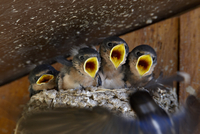 Four barn swallow (Hirundo rustica) chicks chirp as parent approaches nest with food, Custer State Park, South Dakota, United St