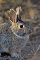 Desert Cottontail (Sylvilagus audubonii), City of Rocks State Park, New Mexico, United States of America, North America 20062058069| 写真素材・ストックフォト・画像・イラスト素材|アマナイメージズ