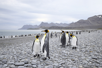 King penguins (Aptenodytes patagonica) on stony beach, Salisbury Plain, South Georgia, Polar Regions 20062058560| 写真素材・ストックフォト・画像・イラスト素材|アマナイメージズ