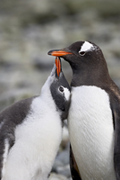 Gentoo penguin (Pygoscelis papua) adult with chick begging for food, Ronge Island, Antarctic Peninsula, Antarctica, Polar Region 20062058754| 写真素材・ストックフォト・画像・イラスト素材|アマナイメージズ