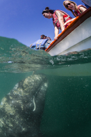 California gray whale calf (Eschrichtius robustus), underwater with tourists in San Ignacio Lagoon, Baja California Sur, Mexico, 20062062751| 写真素材・ストックフォト・画像・イラスト素材|アマナイメージズ