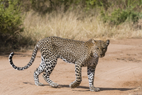 A leopard (Panthera pardus) walks along a road, Samburu National Reserve, Kenya, East Africa, Africa