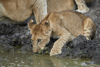 Lion (Panthera leo) cub drinking, Selous Game Reserve, Tanzania, East Africa, Africa