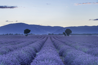 Lavender fields on the Plateau de Valensole, Alpes-de-Haute-Provence, France, Europe 20062065830| 写真素材・ストックフォト・画像・イラスト素材|アマナイメージズ