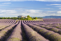 Lavender fields on the Plateau de Valensole, Alpes-de-Haute-Provence, France, Europe 20062065832| 写真素材・ストックフォト・画像・イラスト素材|アマナイメージズ