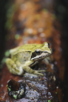 Close-up of a European common frog (Rana temporaria) sitting on a log, North Brabant, The Netherlands, Europe 20062067439| 写真素材・ストックフォト・画像・イラスト素材|アマナイメージズ