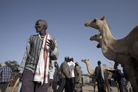 Camel traders at the early morning livestock market in Hargeisa, Somaliland, Somalia, Africa 20062068072| 写真素材・ストックフォト・画像・イラスト素材|アマナイメージズ