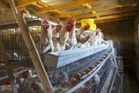 Chickens laying their eggs in cages, Lesotho, Africa 20062077094| 写真素材・ストックフォト・画像・イラスト素材|アマナイメージズ