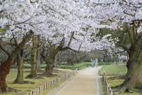 People walking under cherry trees in blossom in Koraku-en Garden, Okayama, Okayama Prefecture, Japan, Asia 20062081524| 写真素材・ストックフォト・画像・イラスト素材|アマナイメージズ