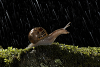 Common snail {Helix aspersa} Adult on moss covered stone at  20070000482| 写真素材・ストックフォト・画像・イラスト素材|アマナイメージズ