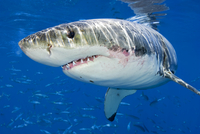 Male Great white shark (Carcharodon carcharias) showing scar 20070001364| 写真素材・ストックフォト・画像・イラスト素材|アマナイメージズ