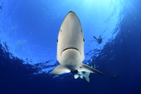 Blue Shark (Prionace glauca) near sea surface and divers in  20070001966| 写真素材・ストックフォト・画像・イラスト素材|アマナイメージズ