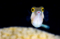 Sharpnose puffer (Canthigaster rostrata) portrait with the e 20070002030| 写真素材・ストックフォト・画像・イラスト素材|アマナイメージズ