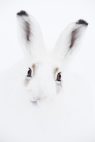 Mountain hare (Lepus timidus) portrait. Vauldalen, Sor-Trondelag, Norway. Highly commended in the German GDT 2013 Competition. 20070002513| 写真素材・ストックフォト・画像・イラスト素材|アマナイメージズ