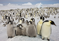 Western Antartica, Antarctic Peninsula, Snow Hill Island, Weddell Sea. Emperor Penguin breeding colony with chicks of four to fi 20088000057| 写真素材・ストックフォト・画像・イラスト素材|アマナイメージズ