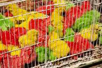 China, Yunnan, Kunming. Little chicks dyed green, yellow and red for sale in Kunming market. 20088017945| 写真素材・ストックフォト・画像・イラスト素材|アマナイメージズ