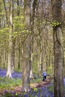 UK, Wiltshire, West Woods. A mother pushes a buggy down the path through the bluebell woods. MR.