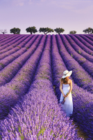 France, Provence Alps Cote d'Azur, Haute Provence, Plateau of Valensole, Lavander Fields 20088029607| 写真素材・ストックフォト・画像・イラスト素材|アマナイメージズ