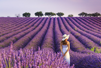 France, Provence Alps Cote d'Azur, Haute Provence, Plateau of Valensole, Lavander Fields 20088029608| 写真素材・ストックフォト・画像・イラスト素材|アマナイメージズ