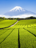 Green Tea plantation in Shizuoka with Mount Fuji in the background, Shizuoka Prefecture, Japan 20088050008| 写真素材・ストックフォト・画像・イラスト素材|アマナイメージズ