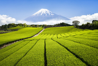 Green Tea plantation in Shizuoka with Mount Fuji in the background, Shizuoka Prefecture, Japan 20088050009| 写真素材・ストックフォト・画像・イラスト素材|アマナイメージズ
