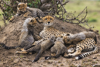 Africa, Kenya, Narok County, Masai Mara National Reserve. A Cheetah and her cubs 20088052790| 写真素材・ストックフォト・画像・イラスト素材|アマナイメージズ