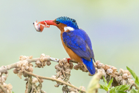 Kenya, Amboseli, Kajidado County. A Malachite Kingfisher with a small frog in its bill. 20088055951| 写真素材・ストックフォト・画像・イラスト素材|アマナイメージズ