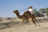 Middle East, Arabian Peninsula, Sultanate of Oman. Traditional camel race between two individuals in desert country in Oman duri 20088063767| 写真素材・ストックフォト・画像・イラスト素材|アマナイメージズ