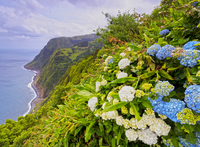 Portugal, Azores, Sao Miguel, Nordeste, View of the Eastern Coast from the Miradouro Ponta da Madrugada with Hortensias in the f 20088066546| 写真素材・ストックフォト・画像・イラスト素材|アマナイメージズ
